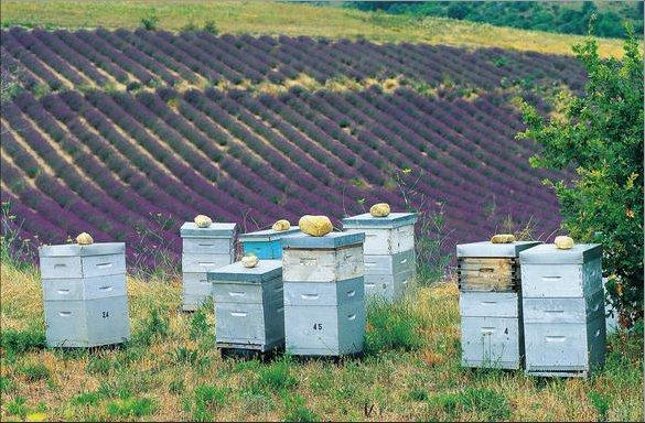 [Image: beehivesinlavenderfield.jpg]