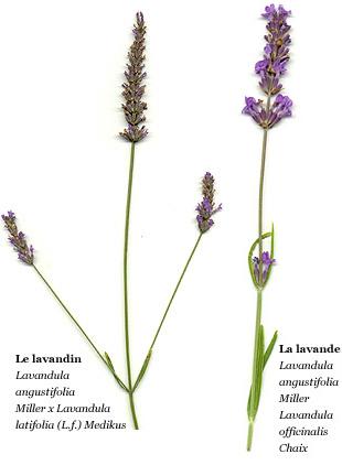 Lavande and lavandin