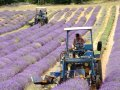 lavender harvest small