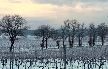 Provence vineyard in the snow