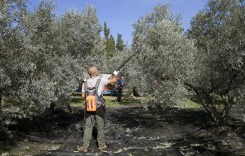 The olive harvest at Castelas, Les Baux de Provence