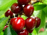 cherries of venasque