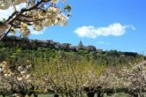 cherry trees in provence small