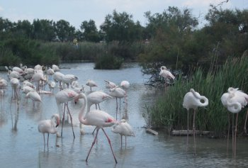 flamingos bird park camargue