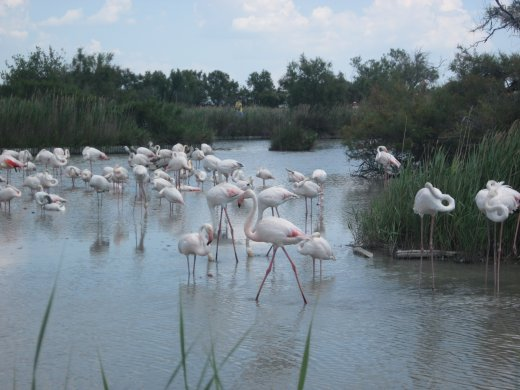 Flocks of pink flamingos can be seen all over the Camargue