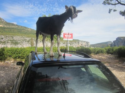 Goat on car in Gorges du Verdon