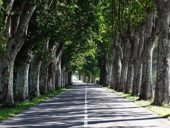 Provencal road lined by plane trees